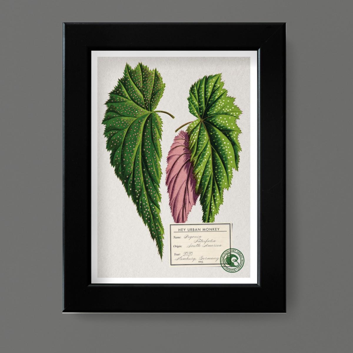 "Hey Urban Monkey - A4 Poster - ""Begonia Falcifolia"""