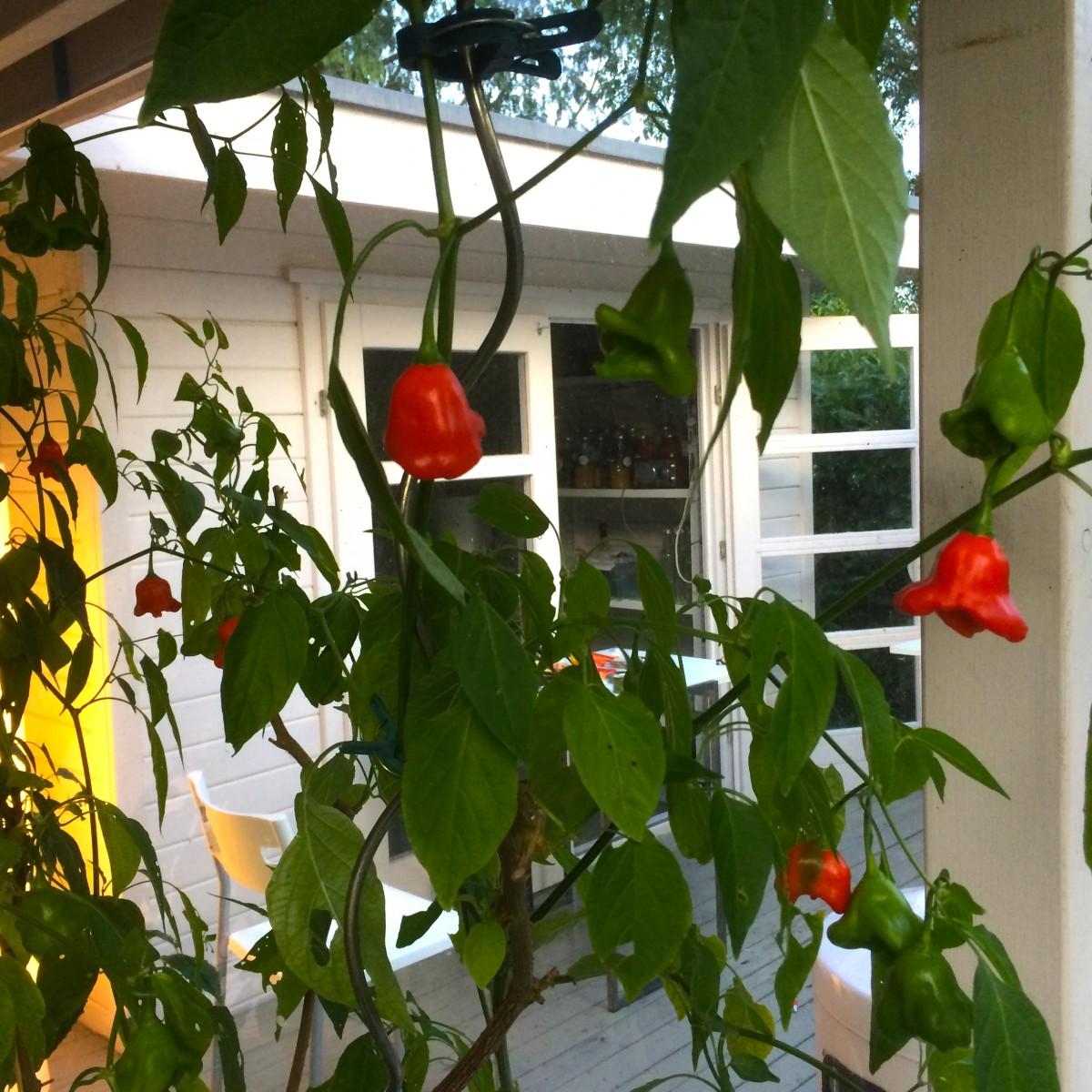 Gabys Grüner Garten scharfes ChiliChutney (220g)