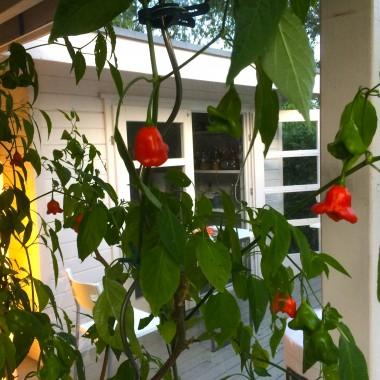 Gabys Grüner Garten scharfer Ingwer Chili Likör