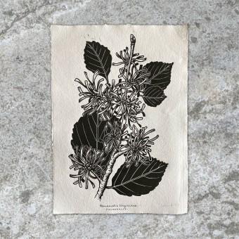 Juliana Fischer - Hamamelis - Linoldruck - weiß - DIN A3